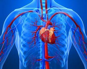серце з навколишнього кровоносною системою