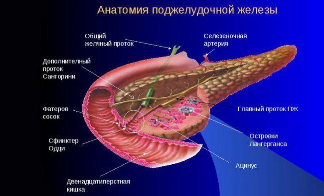 Будова залози підшлункової