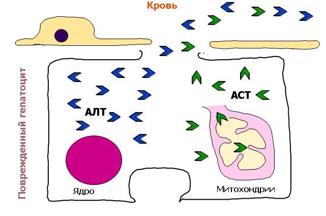 Зміна алт і аст при гепатиті з