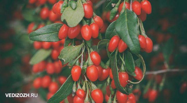 гілки з ягодами