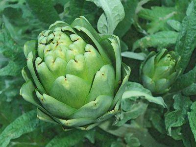 Які лікувальні трави можуть допомогти у відновленні печінки?