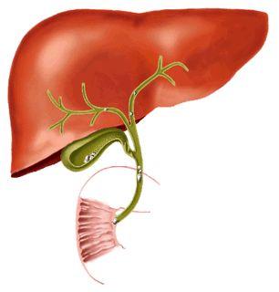 Лікування кісти печінки чистотілом