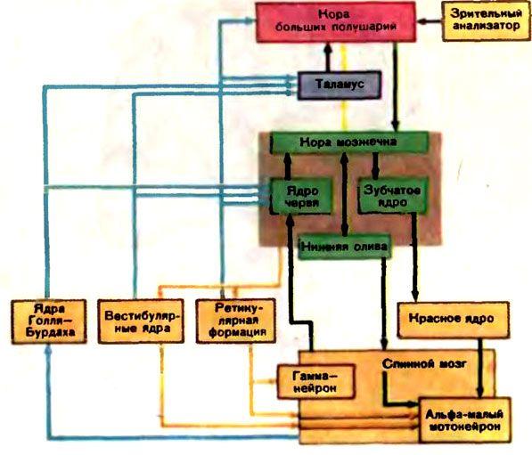 Блок-схема основних зв`язків мозочка