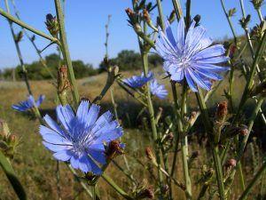 Блакитні квітки цикорію