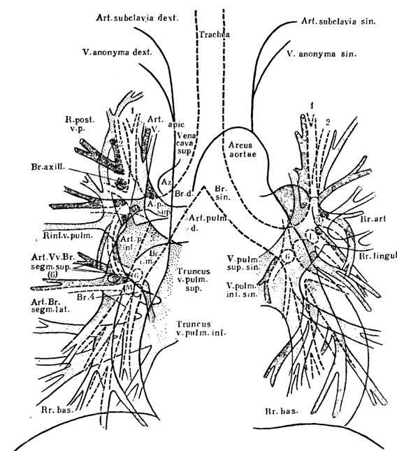 Будова коренів легких